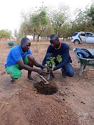 Plantation de moringa