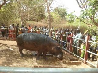 Face à face avec l'hypopotamme