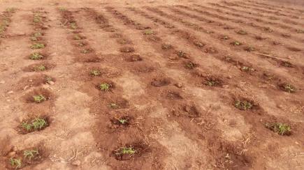 champs de haricot