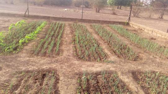 les 2 500 plants d'oignon en pleine croissance
