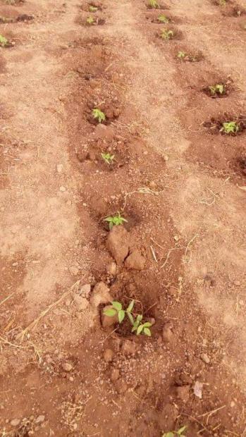 les haricots mungo sortent déjà de terre